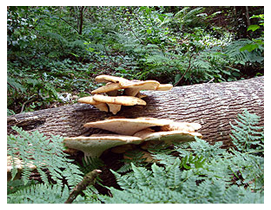 Dryad's Saddle Ford House Woodland