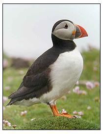 Puffin - Lundy Island